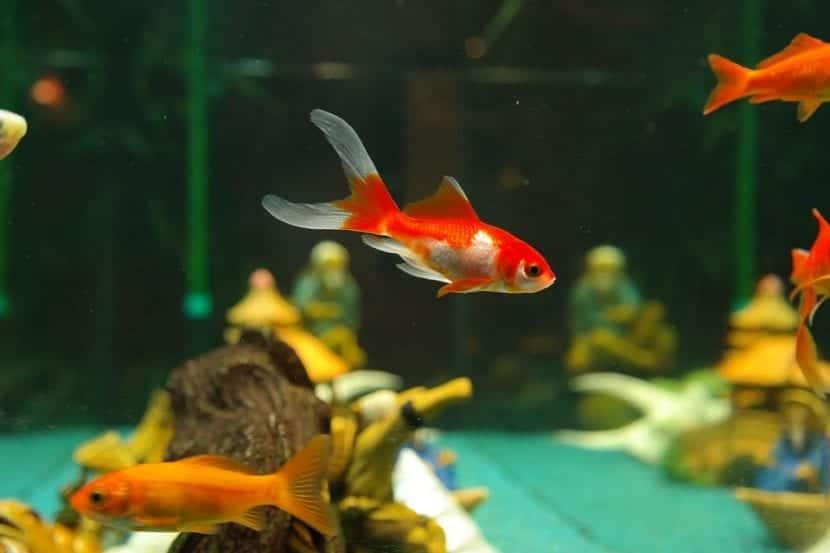 Cu nto vive un pez entra y averigua cu nto tiempo duran for Fuentes de agua con peces