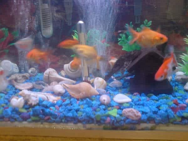 Cu ntos peces se pueden tener en un acuario for Clases de peces de acuario