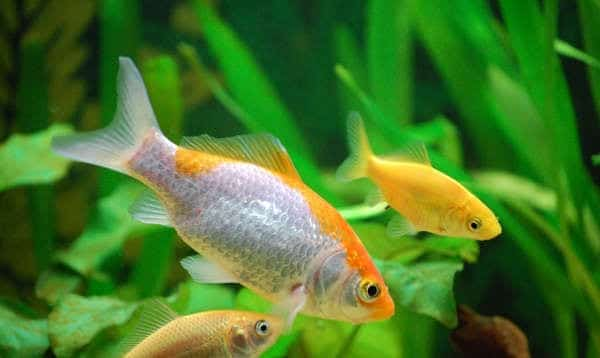 Peces de agua fr a y caliente juntos for Alimentacion para peces de agua fria