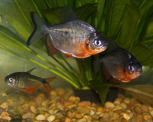 Red pacu