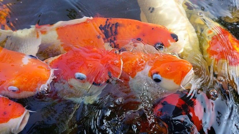 Peces carpa comiendo