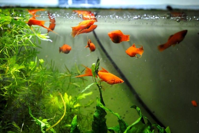 Cu nto tiempo pueden estar los peces sin comer for Peces alimentacion