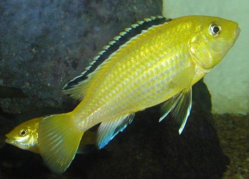 amarillo electrico hembra