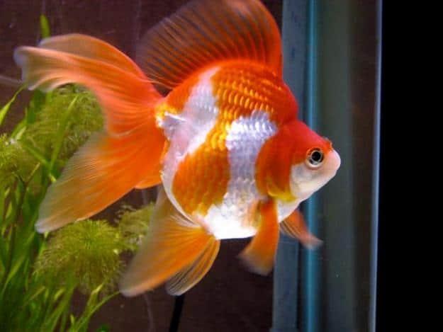 Peces de agua fr a for Peces goldfish tipos