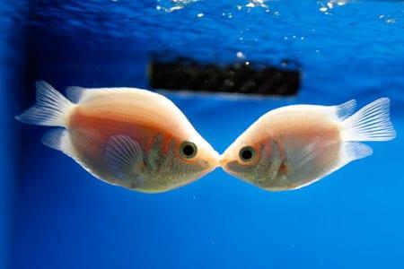 kissing gourami care