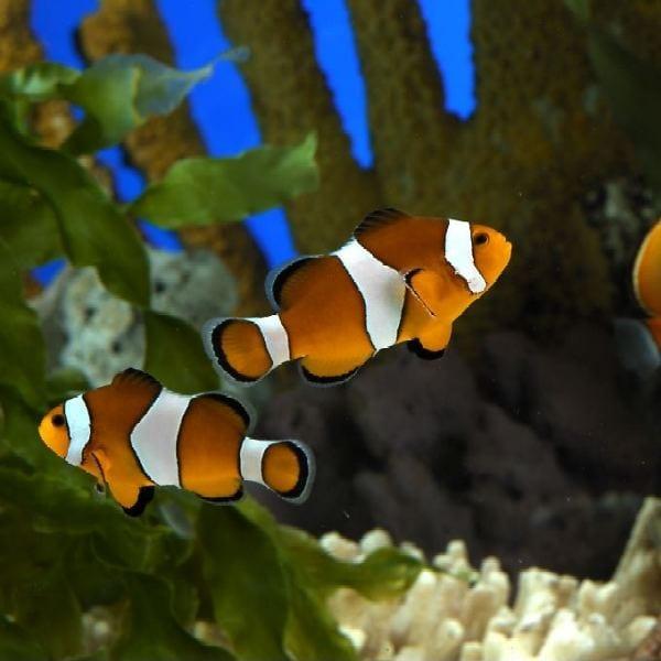 Tipos de calentadores para acuarios for Peces de colores para acuarios