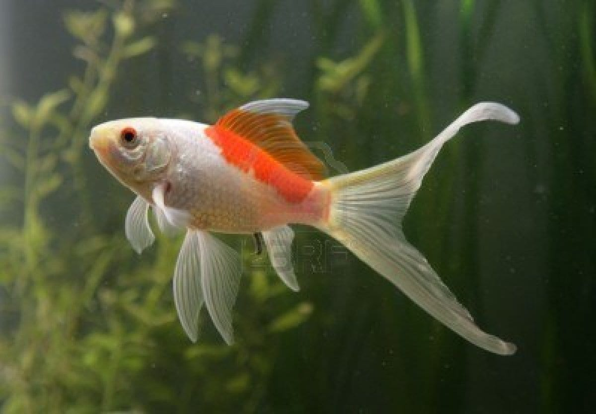 Peces cometa for Goldfish en estanque