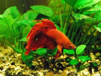 Acuario para el pez betta for Peces de agua dulce para peceras sin oxigeno