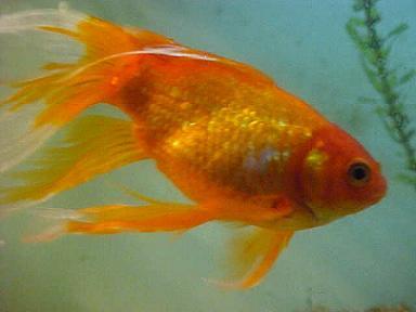 Cuidados de peces de agua fr a en verano for Peces de agua fria carassius