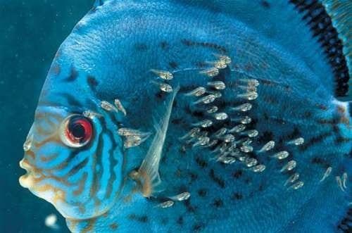 Reproducci n de peces for La reproduccion de los peces
