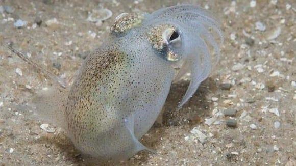 La particular forma que tienen los calamares de obtener energía