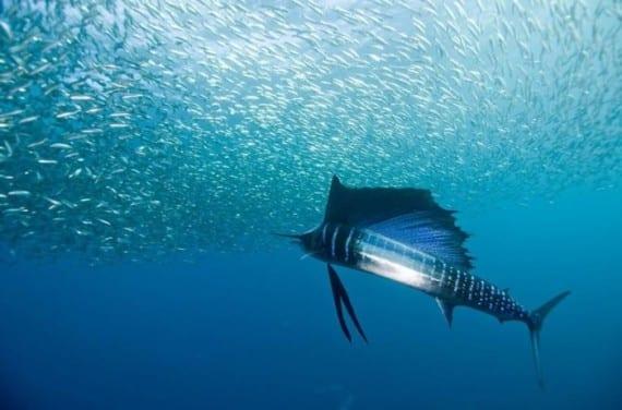 Forma en que nadan los peces vela