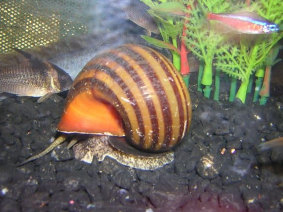 Funciones de los caracoles en el acuario