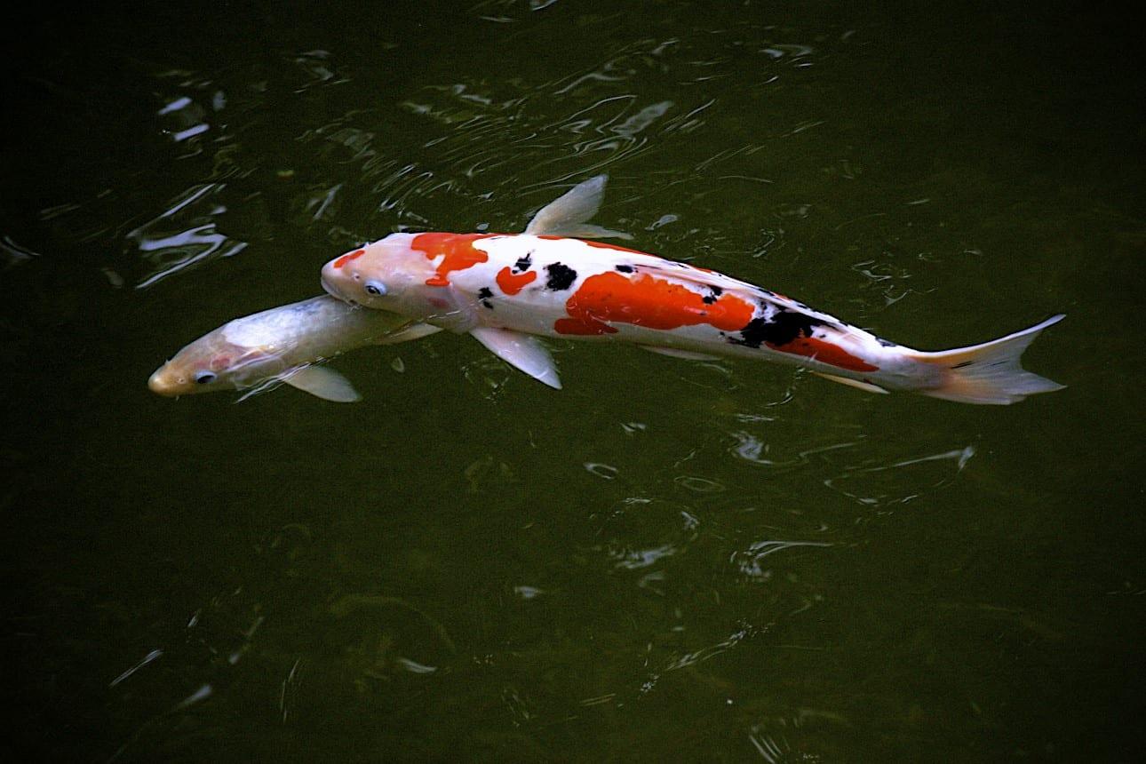 Pautas para criar al pez koi