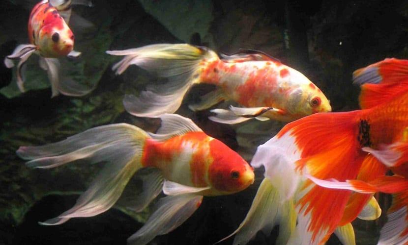 6 peces de agua fr a para tu acuario los conoces todos for Variedad de peces