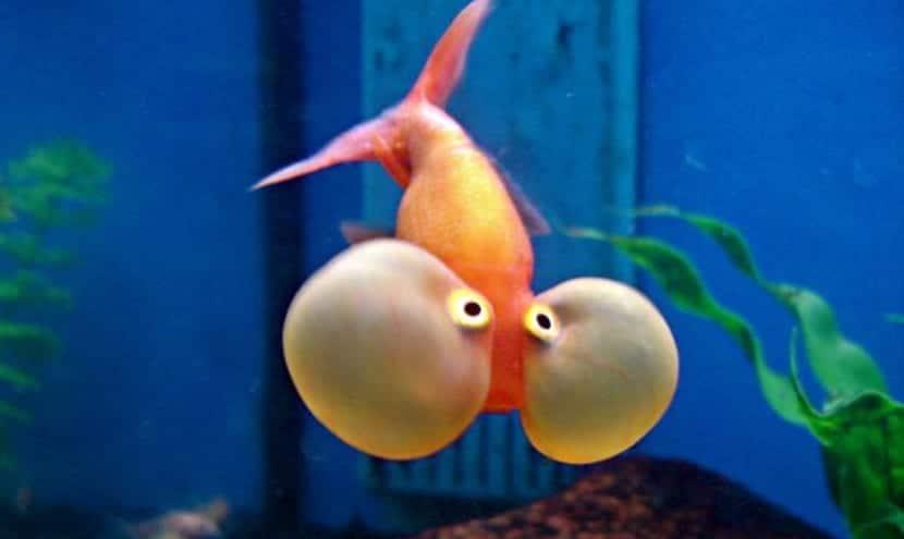Los peces m s vistosos para un acuario for Enfermedades de peces goldfish