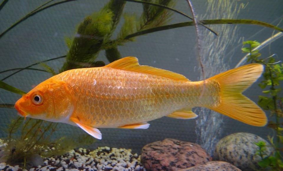 Carpa, un pez pelágico