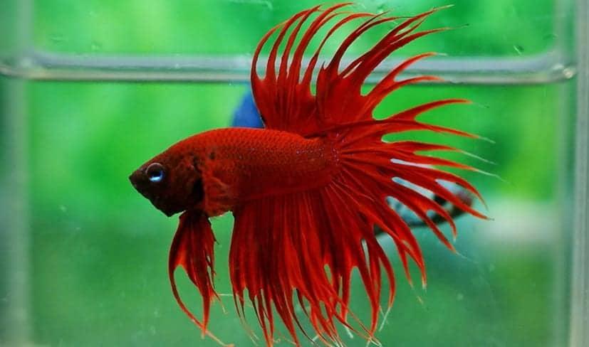 Reproducci n de los peces betta for La reproduccion de los peces