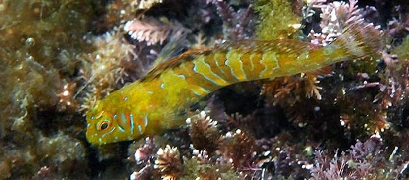 pez dormilón