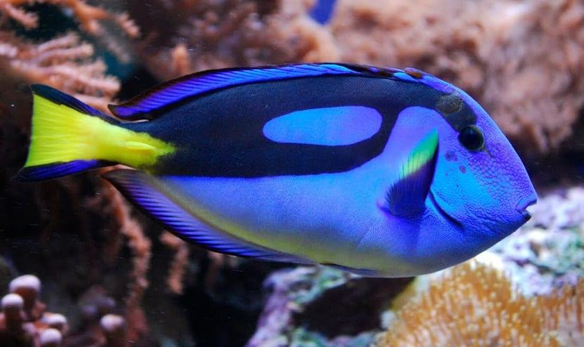 pez-azul