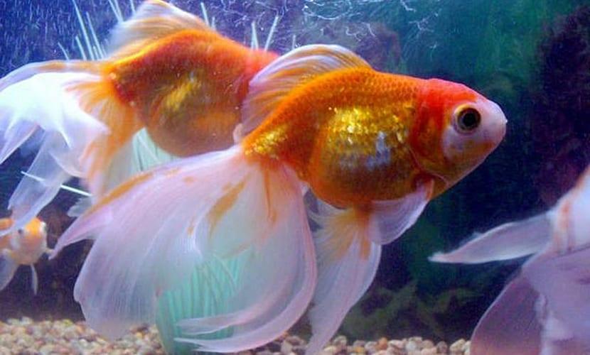 hongos peces