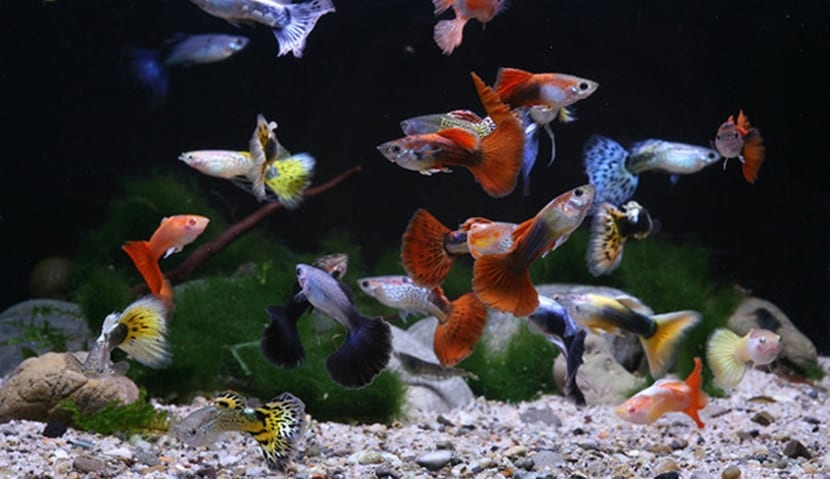 peces-guppy