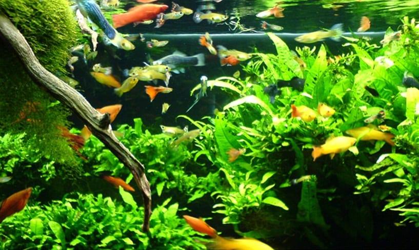 Peces tropicales llamativos y f ciles de cuidar for Peces tropicales