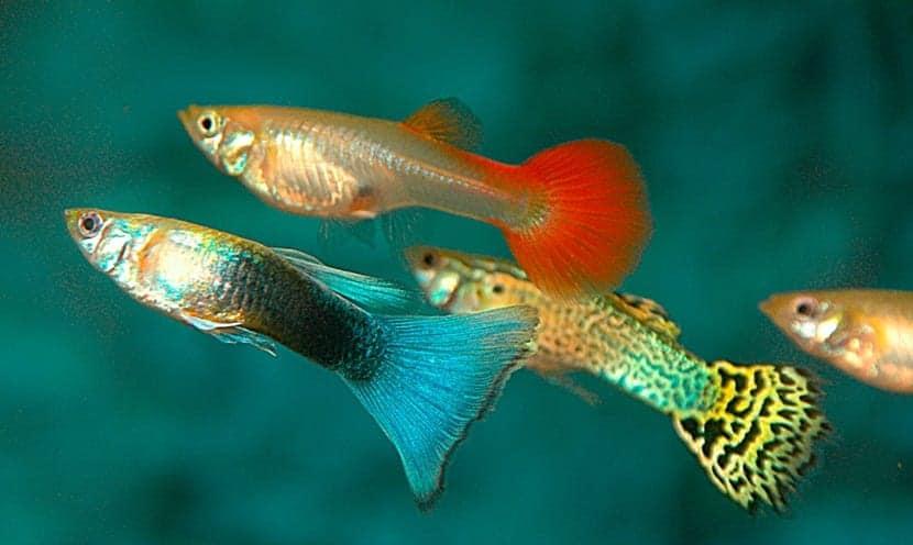 Peces guppy y sus cuidados for Cuidado de peces