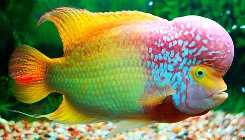 pez Flower Horn