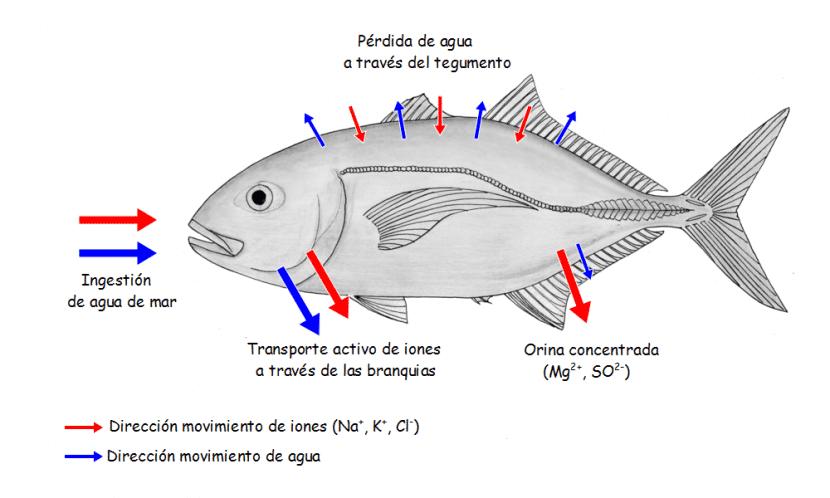 osmorregulacion-peces-marios