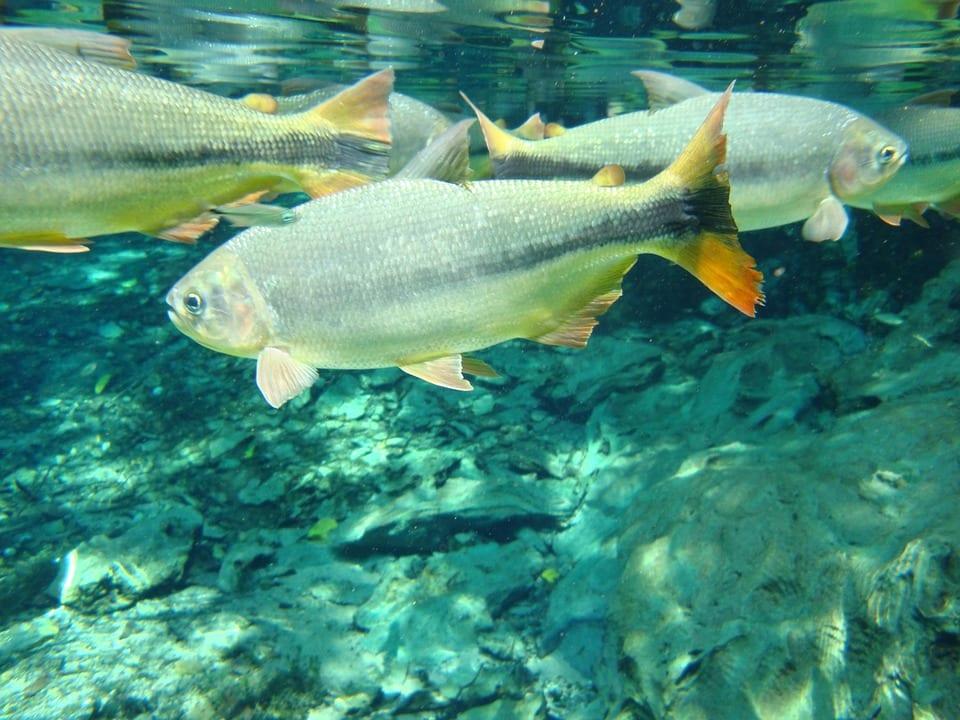 Qu es la osmorregulaci n en peces de agua dulce y agua salada for Peces de agua fria para consumo humano