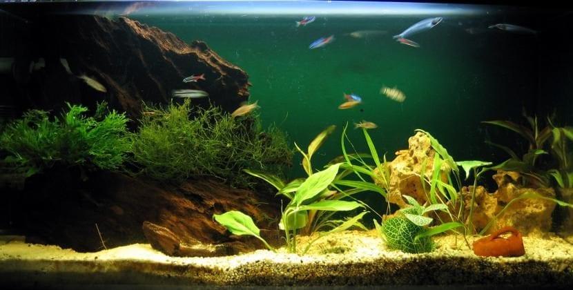 6 peces de agua fr a para tu acuario los conoces todos. Black Bedroom Furniture Sets. Home Design Ideas