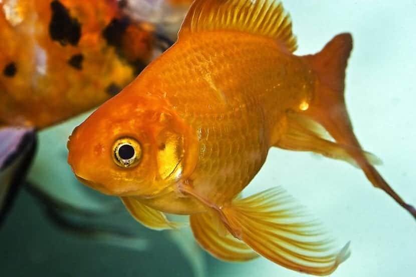 6 peces de agua fr a para tu acuario los conoces todos for Los mejores peces de agua fria