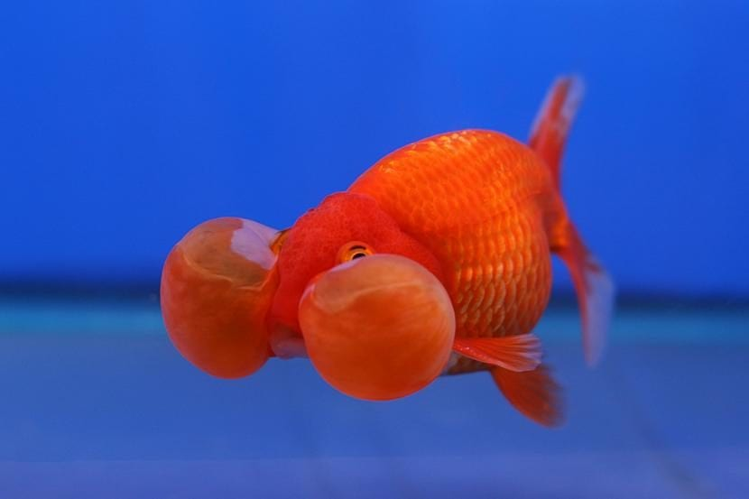 6 peces de agua fr a para tu acuario los conoces todos for Peces de agua fria carassius