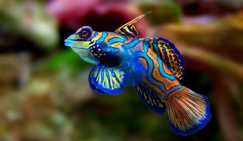 pez dragon o mandarin