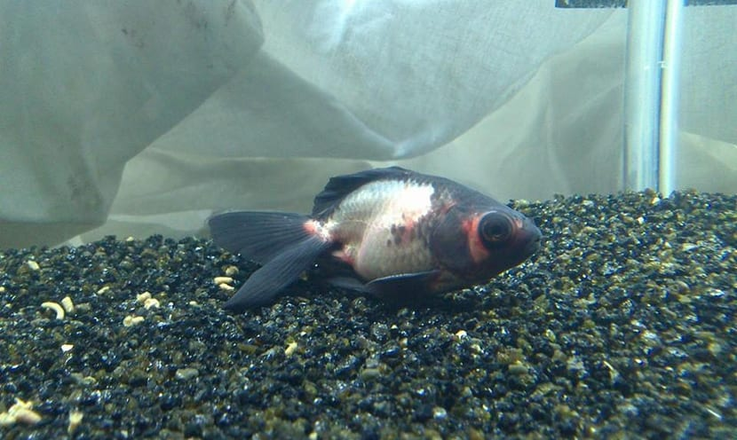 pez enfermo