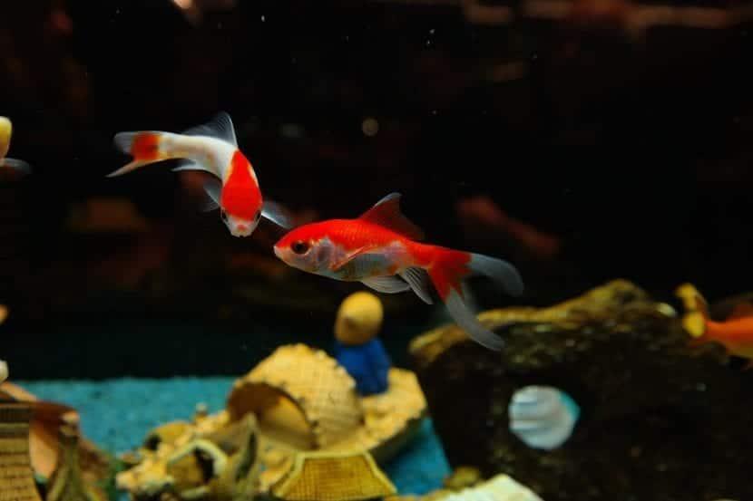 Peces Goldfish en el interior del acuario