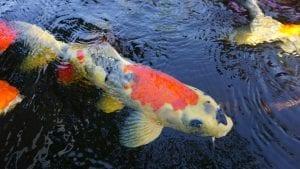 Pez carpa nadando en un estanque