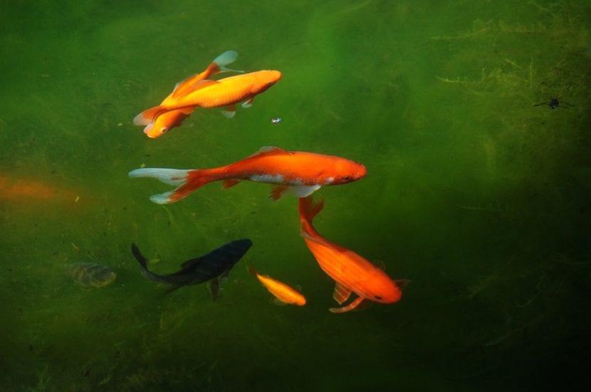 As son los peces de agua fr a for Variedad de peces