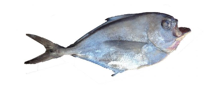 Tipo de pez hacha