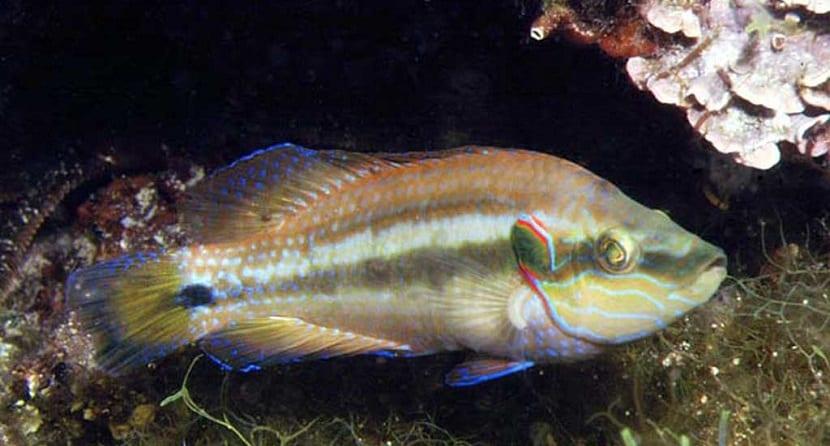 el pez tordo modifica su comportamiento con el olor del agua