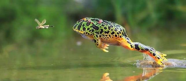 rana cazando