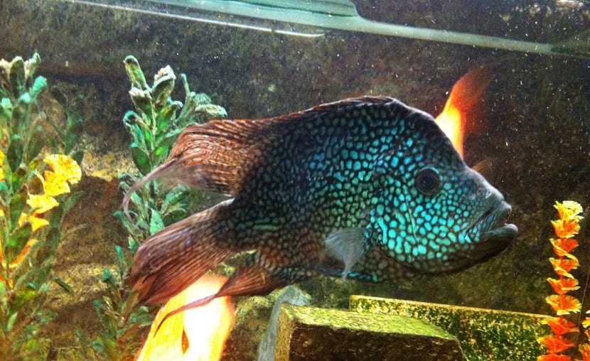 peces cíclidos para acuarios