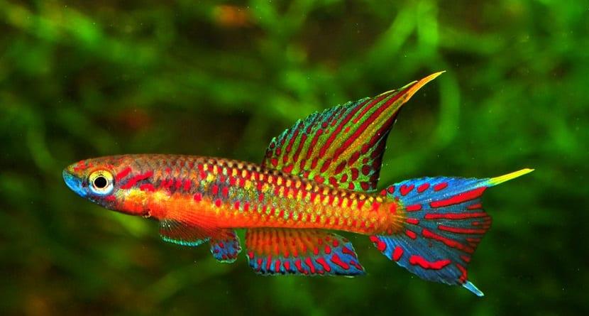 Los mejores peces de agua dulce para tu acuario for Peces agua dulce