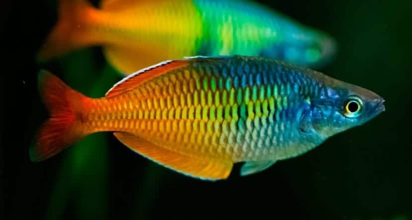 Los mejores peces de agua dulce para tu acuario for Cuidado de peces