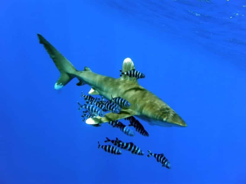 Tiburón rodeado de peces