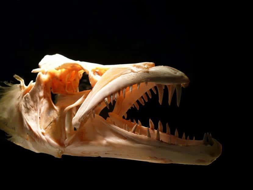 Cráneo pez prehistórico