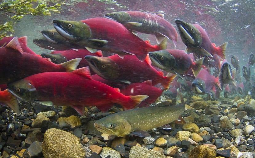 Los salmones adultos viven en el mar