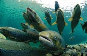 Los salmones viven en el mar cuando son adultos