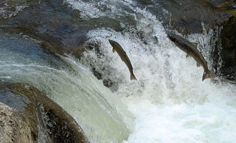Los salmones vuelven a su río materno a desovar y reproducirse